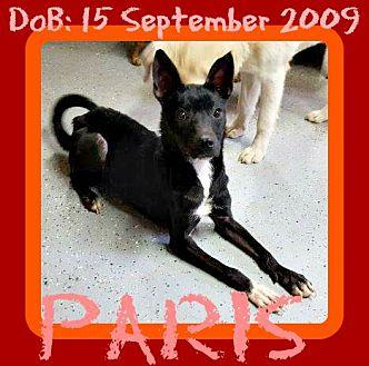 PARIS Miniature Pinscher Adult Female