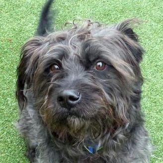 Parker Scottie, Scottish Terrier Adult Male