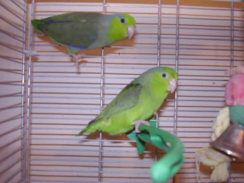 Parrotlet Breeding Pairs SELL OUT!