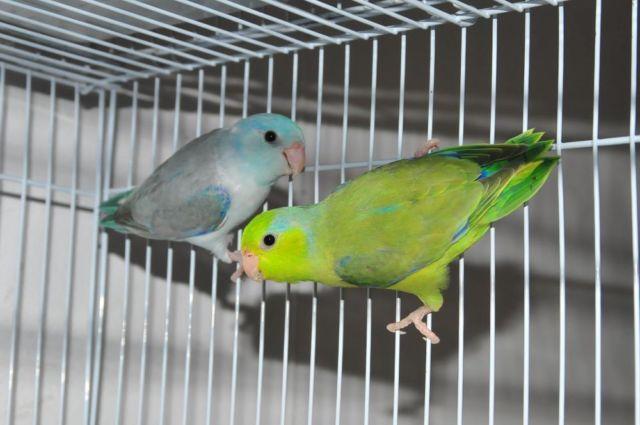 Parrotlet Sale Parrotlets For Sale 1-1
