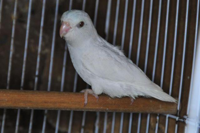 Parrotlet Sale Parrotlets For Sale 1-2
