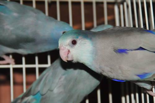 Parrotlet Sale Parrotlets For Sales