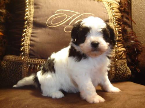 Parti-Colored Shih-Poo Puppies (Shih-Tzu x Poodle)