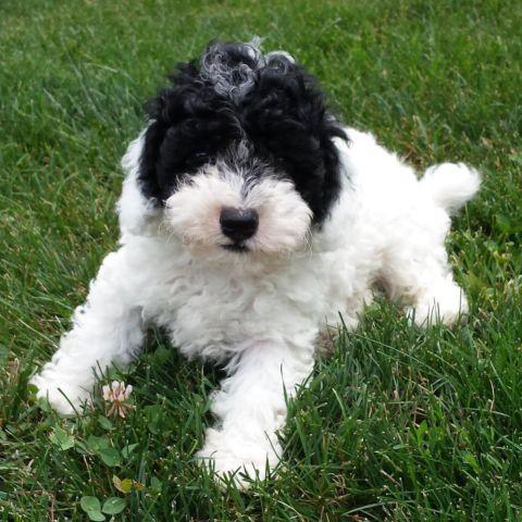 Parti Male Toy Poodle -- 8 Weeks Old -- Bandit