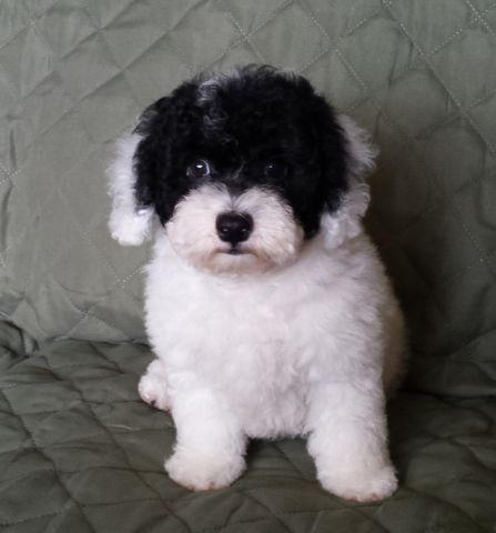 Parti Male Toy Poodle -- 9 Weeks Old -- Bandit