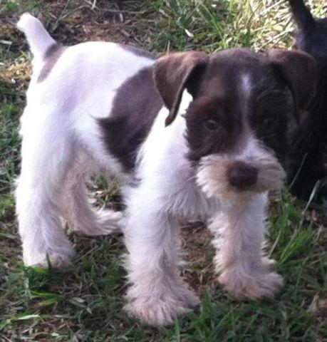 Parti Mini Schnauzer Puppies For Sale In Greenwood Arkansas