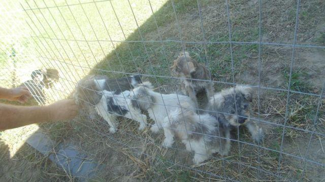 PARTY MINIATURE SCHNAUZERS PUPPIES