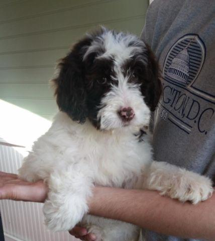 Party Mix Goldendoodle Puppies For Sale In Baxter Minnesota