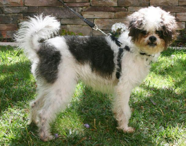 Party Poodle Shih Tzu Mix Named Mr Wiggles For Sale In Carlsbad