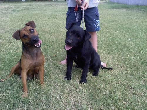 patterdale terrier for sale patterdale terrier puppies for sale for sale in riverdale 6859