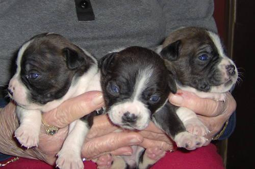 Patton Terrier puppies (Boston/Patterdale)