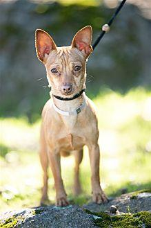 Patty Chihuahua Adult Female