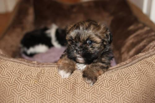 Peanut A Runt With Love Pure Breed Imperial Shih Tzu For Sale In
