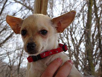 Chihuahua Pennut