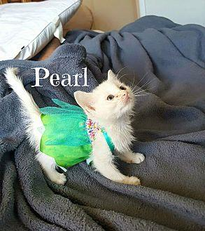 Pearl Domestic Mediumhair Kitten Female
