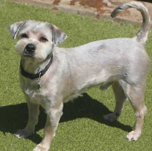 Pebbles Poodle Young - Adoption, Rescue