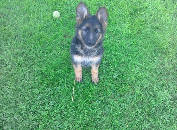 Pedigree german shepherd puppies Available for Sale in Charlotte