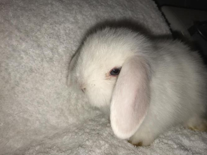 Pedigreed & Pet Holland Lop Baby Bunnies $50-$125🐰