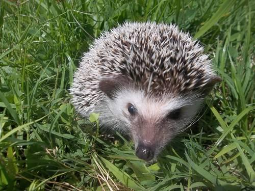 Pedigreed Baby Hedgehog Hoglets