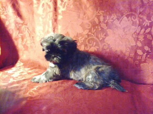 Peekapoo Baby Girl (Poodle and Pekingese)