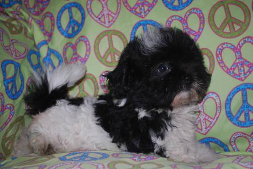 Peekapoo Puppy