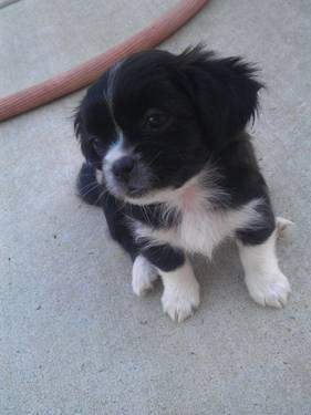 Peekapoo Puppies on Peekapoo Puppies For Sale For Sale In Sacramento  California
