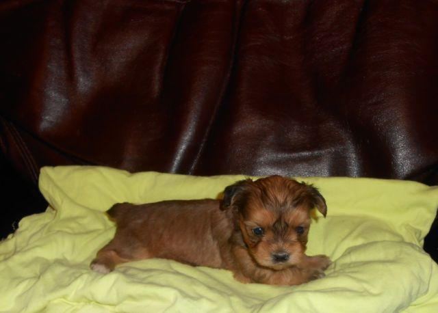 Peke a Poo/Yorkie mix Puppies