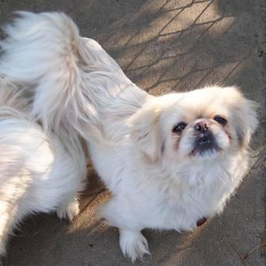 Pekingese - Izzy - Small - Adult - Female - Dog