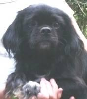 Pekingese - Lil Bud - Small - Adult - Male - Dog