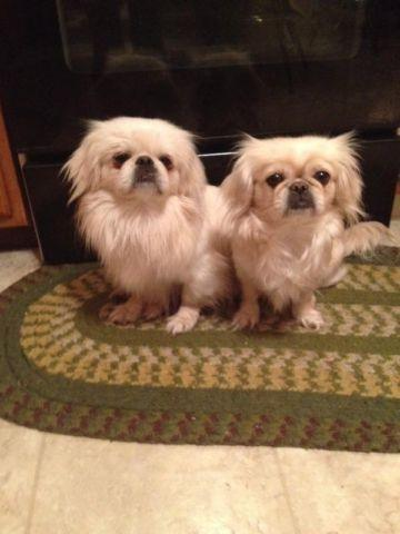 Pekingese puppies for Sale in East Orwell, Ohio Classified