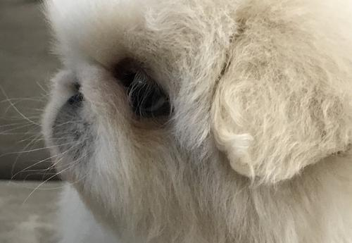 Pekingese Puppy for Sale - Adoption, Rescue