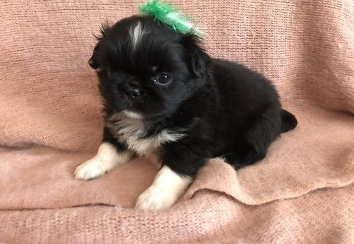 Pekingese Puppy for Sale - Adoption, Rescue