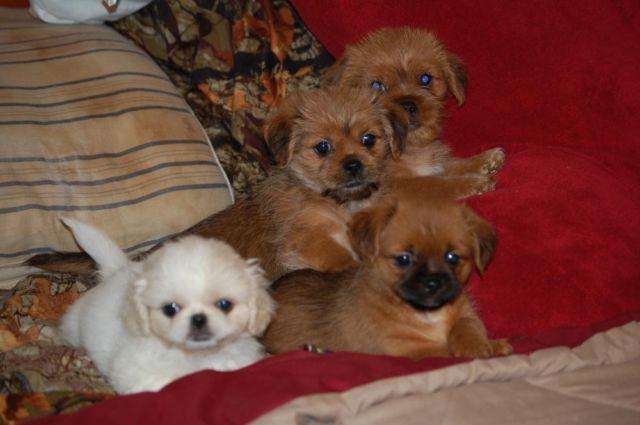 yorkie mix classifieds buy sell yorkie mix across the usa