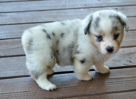 Pembroke welsh Corgi puppies for Sale in Carlinville ...