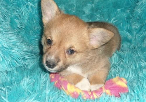 Pembroke Welsh Corgi Puppies available