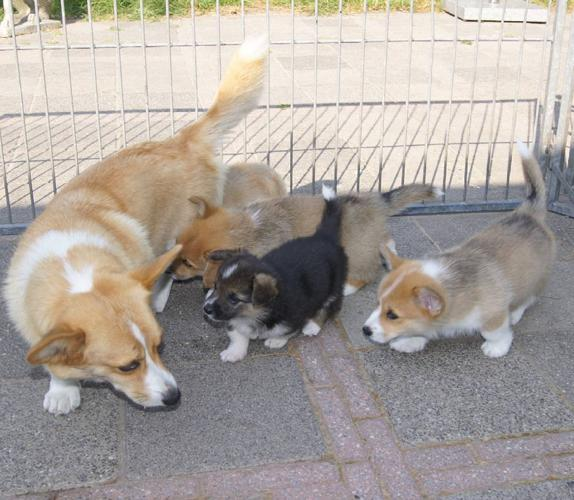 Pembroke Welsh Corgi Puppies For Sale For Sale In Miami Lakes