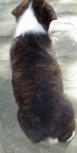 Pembroke Welsh Corgi Puppy for Sale - Adoption, Rescue for