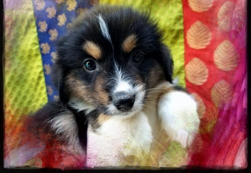 Pembroke Welsh Corgi Puppy For Sale Adoption Rescue For Sale In