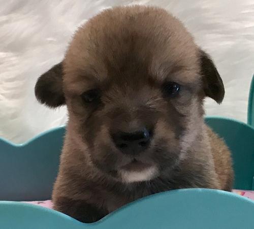 Pembroke Welsh Corgi Puppy For Sale Adoption Rescue For Sale In