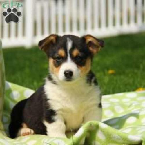 Pembroke Welsh Corgi Purebred Puppy Litters For Sale For Sale In