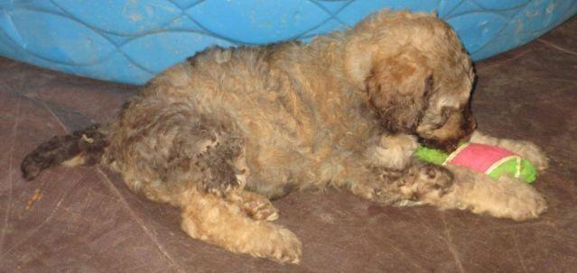 Pendng Tri Colored Phantom Standard Poodle For Sale In