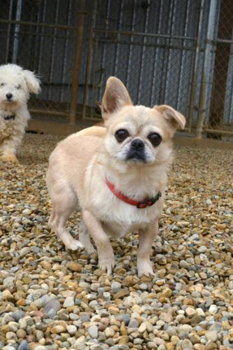 Penelope Pekingese Adult - Adoption, Rescue for Sale in