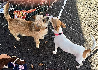 Wirehaired Fox Terrier Female