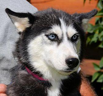 Pepper Siberian Husky Young Male