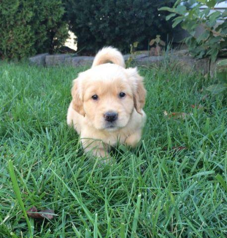 Perfect AKC Golden Retriever Puppies- w/Microchip