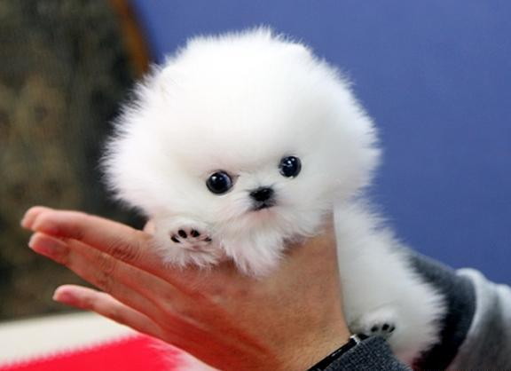 Perfect Little Ice White TeaCup Pomeranian Puppies