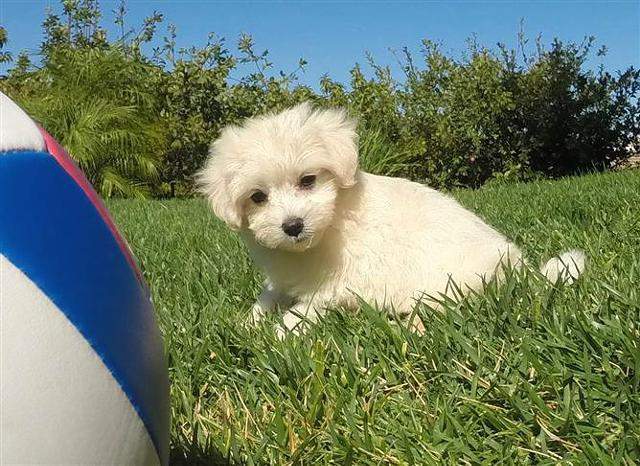Perfect MaltiPoo Puppy 4 Sale - Maltese x Toy Poodle for