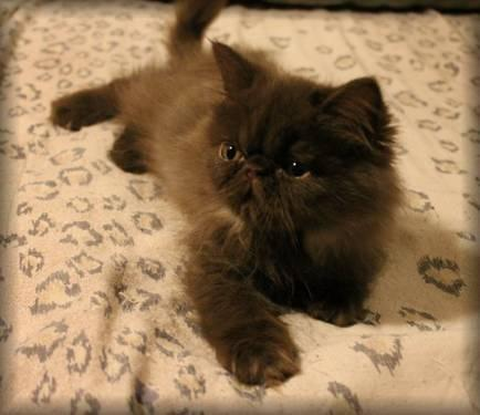 Persian Adorable Solid Chocolate male kitten