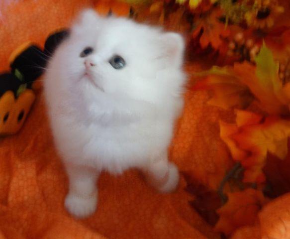 Persian and Himalayan Kittens CFA Registered One Year Health Guarantee