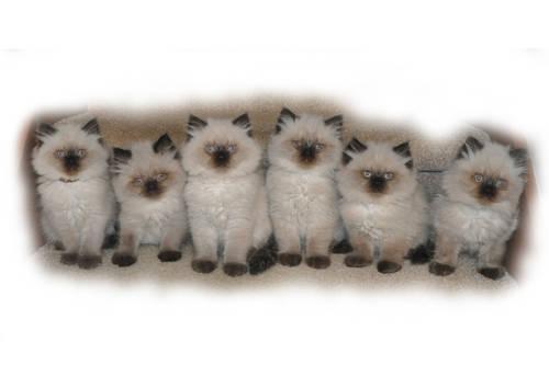 Persian himalayan kittens for sale for Sale in Lebanon, Iowa ...